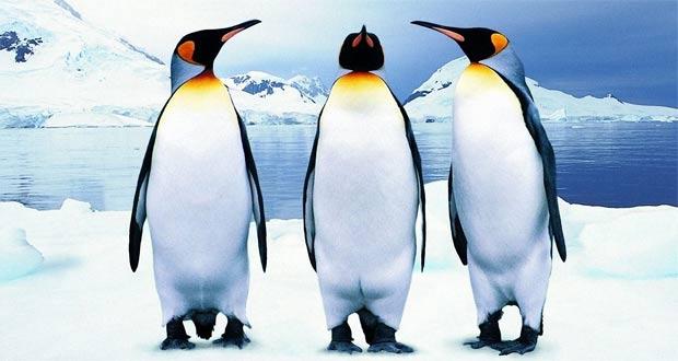 Ciri Khusus Penguin Dan Fungsinya Maslatip Com