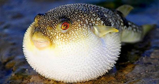 Ciri Khusus Ikan Buntal Dan Fungsinya Maslatip Com